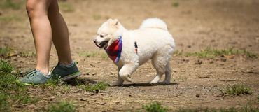 Following the leader. Spitz following the owner in a park Stock Photo