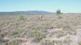 Following male deers running in the smoothness stock video