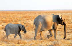 Following mom. A young elephant following its bigger mother stock photography