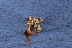 Following Mother Duck. A mother mallard duck swimming with her ducklings on a pond Royalty Free Stock Images