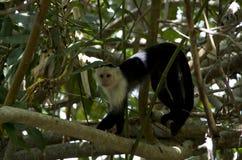 Cahuita National Park, Capuchin Monkey stock image
