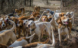 Following the Scent. Fox hounds looking for the scent of a fox stock photo