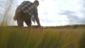 Following to male hand moving over wheat growing on the field. Meadow of green grain and man`s arm touching seed in. Summer. Guy walking through cereal field stock footage