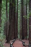 Following a trail in Armstrong Redwood Park. Following a trail in Armstrong Redwood Park, California royalty free stock photos