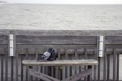 Folly Beach South Carolina, February 17, 2018 - two pigeons sitting on a bench on fishing pier kissing each other stock photos