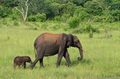 Folowing母亲, Chobe, Botswa na 免版税库存照片