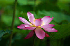 Folwer de lotus (5) Photo libre de droits