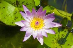 Folwer de Lotus en un lavabo Foto de archivo libre de regalías