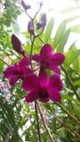 Folwers da orquídea, beleza da natureza, Sri Lanka imagens de stock