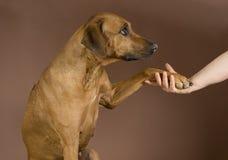 Mano humana que sostiene la pata de los perros Imagenes de archivo
