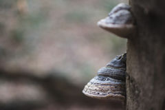 Fomentarius för två fomes på trädet i trät, bakgrund Royaltyfri Foto