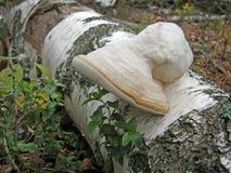 Fomentarius Fomes гриба Стоковое Изображение RF