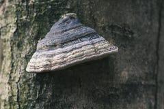 Fomentarius fomes на дереве в древесине, предпосылке Стоковые Изображения