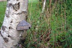 Fomentarius fungoso del Fomes del enganche en el abedul de plata Betula Pendula Foto de archivo libre de regalías