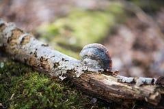 Fomes fomentarius auf dem Baum im Holz, Hintergrund Stockfotografie