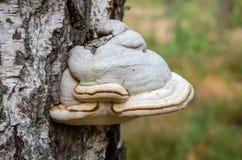 Shelf fungus. Bracket fungus. Fomes fomentarius. Fomes fomentarius. Bracket fungus growing on trunk of a birch. Ukraine Stock Photos