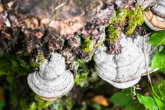 Polypore funguses on an old stump. Stock Images