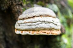 Polypore funguses on an old stump. Stock Image