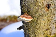 Fomes fomentarius has a fruit body of between 5 and 45 centimetres 2.0 and 17.7 in across stock photos