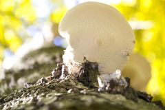 Fomes fomentarius - commonly known as the tinder fungus, false tinder fungus, hoof fungus, tinder conk, tinder polypore or ice man stock photos