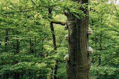 Fomes fomentarius. Fruiting bodies of tree mushroom royalty free stock photography