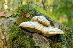 Fomes fomentarius mushroom Royalty Free Stock Photos