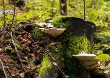 Fomes fomentarius mushrooms Royalty Free Stock Image