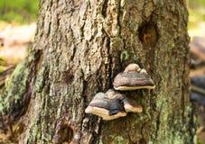 Fomes fomentarius mushrooms stock image