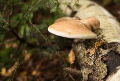 Fomes fomentarius mushrooms Stock Images