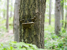 Fomes fomentarius on the oak tree in the wood Stock Photo