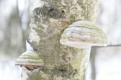 Fomes fomentarius powszechnie znać jako hubka grzyb, fałszywy hubka grzyb, racicowy grzyb, hubki conk, hubki huba lub lodowy mężc Obraz Stock
