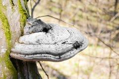Fomes fomentarius powszechnie zna? jako hubka grzyb na ?ywym drzewie zdjęcia royalty free