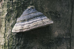 Fomesfomentariusen på trädet i trät, bakgrund Arkivbilder
