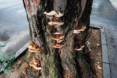 Fomitella tree fungus Royalty Free Stock Photos