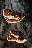 Fomitella tree fungus Royalty Free Stock Photography