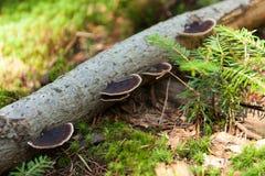 Fomitopsis de Pinicola sur l'écorce, écosystème de nature images libres de droits