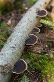 Fomitopsis en corteza, ecosistema del Pinicola de la naturaleza fotografía de archivo libre de regalías