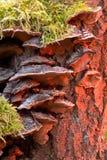 Fomitopsis pinicola royalty free stock photo