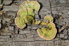 Fomitopsis pinicola obraz royalty free