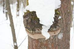 Fomitopsis pinicola, is a stem decay fungus. Its conk fruit body is known as the red belt conk. The species is common throughout. The temperate Northern royalty free stock image