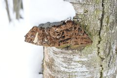 It influences stand structure and succession in temperate rainforests. Fomitopsis pinicola, is a stem decay fungus. Its conk fruit body is known as the red belt Royalty Free Stock Photos