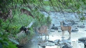 fon jeleniej czujna whitetail kochającą mamę zbiory wideo