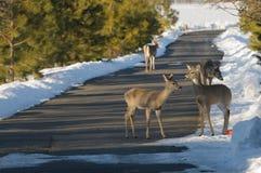 fon jeleniej czujna whitetail kochającą mamę Zdjęcia Royalty Free