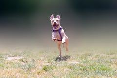 Fonctionnement américain heureux de terrier de pitbull Photos libres de droits