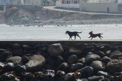 Fonctionnement amical de deux chiens Photographie stock
