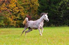 Fonctionnement arabe de cheval gratuit dans le domaine d'automne Images stock