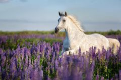 Fonctionnement Arabe de cheval gratuit sur un pré de fleur image libre de droits
