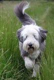 Fonctionnement barbu de colley Photo stock