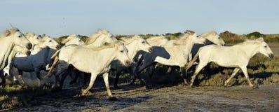 Fonctionnement blanc de chevaux de Camargue Images stock