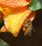 Fonctionnement d'abeille de miel Photos stock
